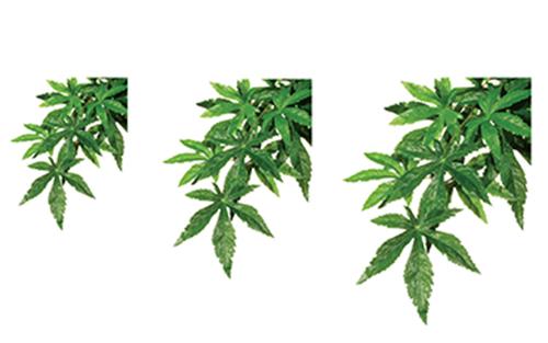 PLANTS ABUTILON SMALL